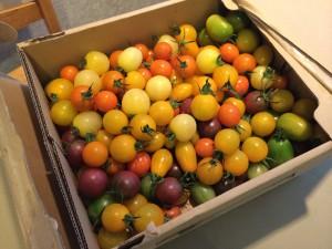 色さまざまなミニトマト